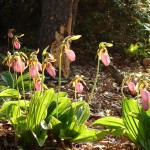 Lady slippers in sunlight