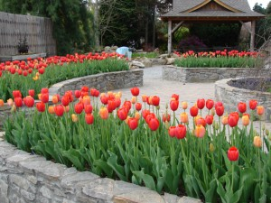 Therapy Garden tulips